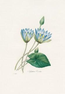 egiptian blue lily
